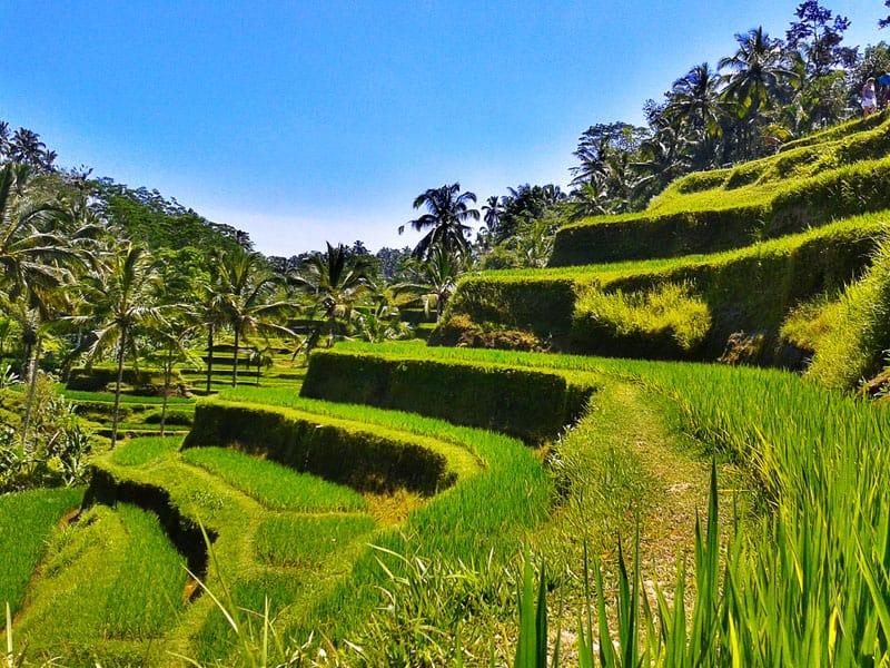 Рисовые террасы Тегалалланг